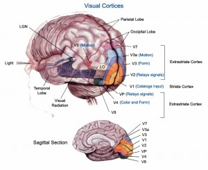 Visual Cortex